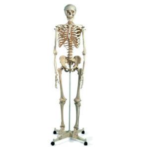 Anatomiset taulut ja mallit